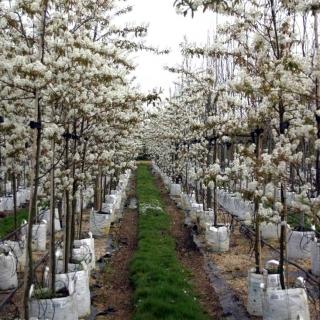 Amelanchier lamarckii multi-stem white flowers