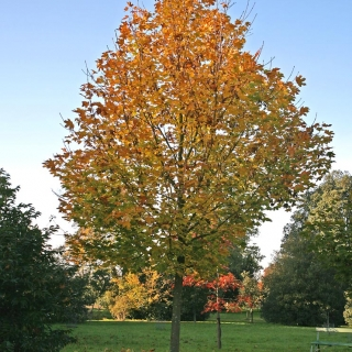 semi mature Acer platanoides Farlakes Green in autumn