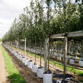 Prunus padus on the barcham trees nursery