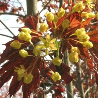 The yellow flowers of Acer platanoides Deborah