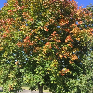 autumn colouring of Acer platanoides Pacific Sunset