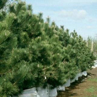 row of Pinus nigra Austriaca on the barcham trees nursery
