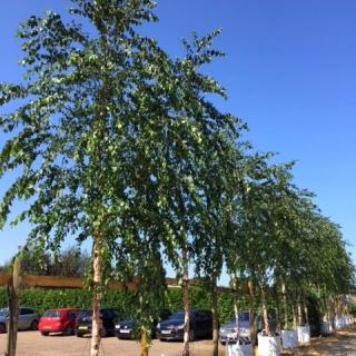 semi mature Betula nigra