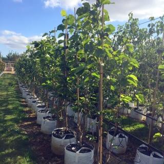 Magnolia x Brooklynensis Elizabeth at barcham trees