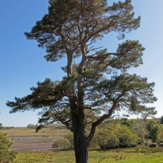 mature  Small - feathered Scots Pine from this batch  Pinus sylvestris