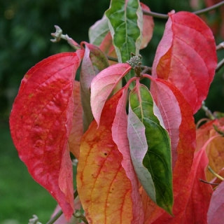 autumn foliage of Cornus Eddie's White Wonder