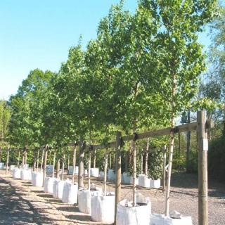 row of semi mature Betula ermanii