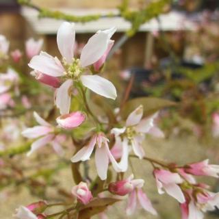 flower of Amelanchier lamarckii multi stem pleached