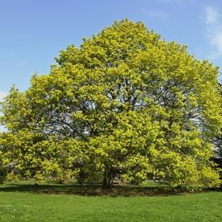 Mature Acer platanoides