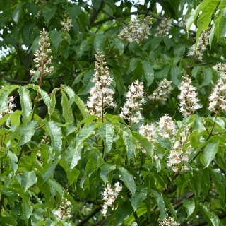 The flowers of Aesculus indica
