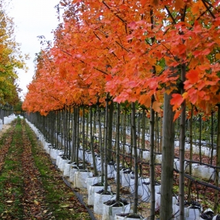 Acer rubrum October Glory in autumn colour at barcham trees