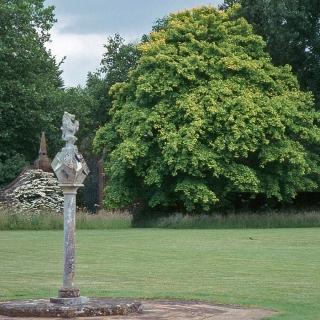 Mature Acer cappadocicum Aureum