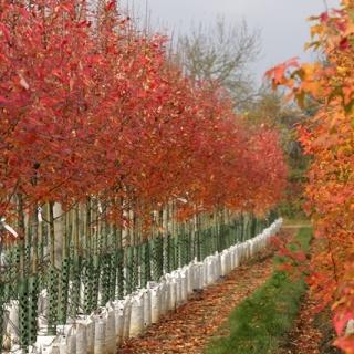 Amelanchier arborea Robin Hill in autumn foliage