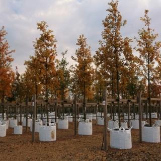 Autumn colour of Quercus robur