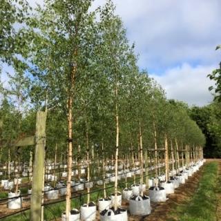 Betula pendula Beverley Beauty at Barcham Trees