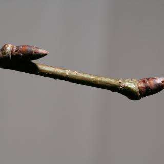 Ulmus Dodoens close up of buds