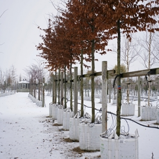 Carpinus betulus in winter
