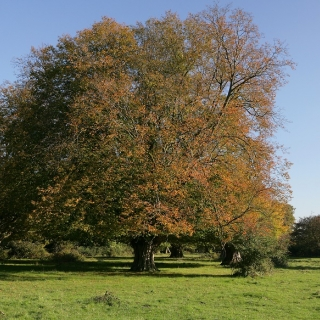 Mature Carpinus betulus in autumn