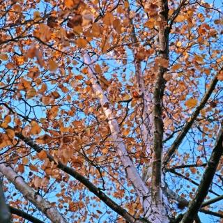 the canopy of Betula pubescens