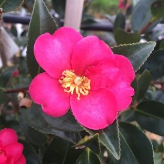 The flower of Camellia sasanqua Kanjiro