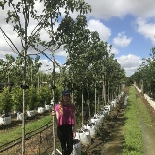 Davidia involucrata at Barcham Trees
