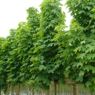 Acer platanoides Columnare at barcham trees