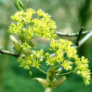 the yellow flower of Acer platanoides Farlakes Green