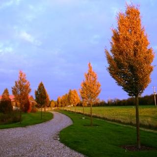 Beautiful autumn colour of  Medium Upright Hornbeam from this batch <> Carpinus betulus Frans Fontaine