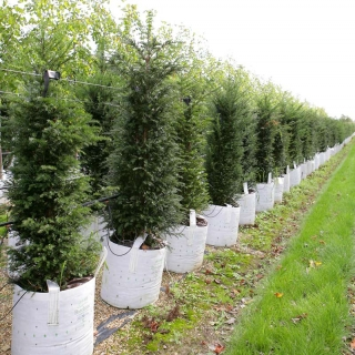 Taxus baccata at Barcham Trees