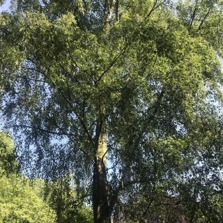 Mature Betula pendula Dalecarlica