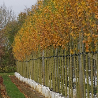 Acer campestre Queen Elizabeth in autumn colour