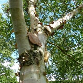 The pinkish, flaky bark of Betula albosinensis Fascination