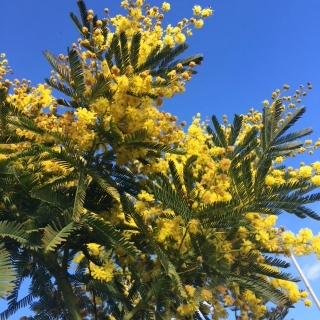 Acacia dealbata flowers