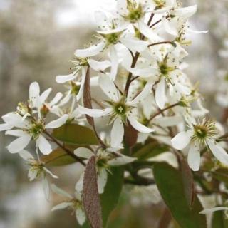 The flowers of Amelanchier lamarckii in detail
