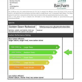 Metasequoia glyptostroboides Goldrush