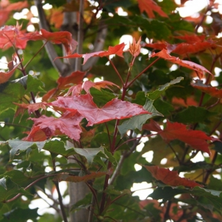 New foliage of Acer platanoides Fairview