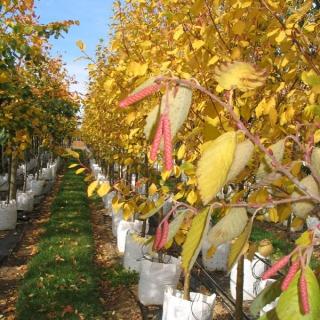Alnus incana Aurea at barcham trees in autumn
