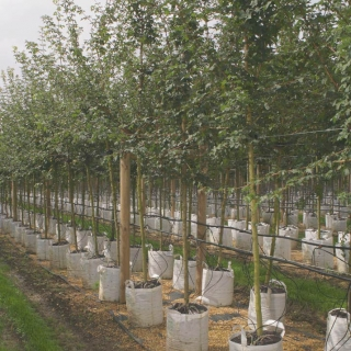 Acer campestre on the barcham trees nursery