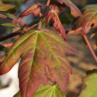 new foliage of Acer campestre Louisa Red Shine