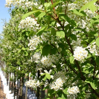 the flowers of Prunus padus