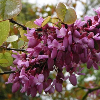 The pink pea like flower of Cercis siliquastrum