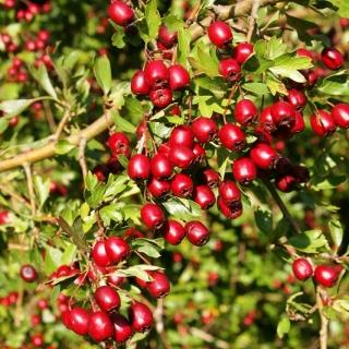 berries of Crataegus monogyna