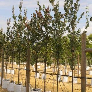 Cornus mas at barcham trees