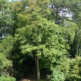 Mature Carpnus betulus at westonbirt arboretum