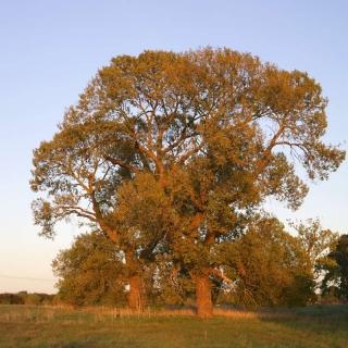 mature specimen of Populus nigra