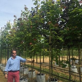 Acer cappadocicum Aureum