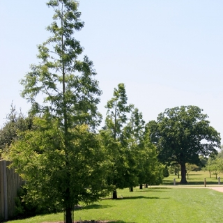 Dawn Redwood in a parkland environment