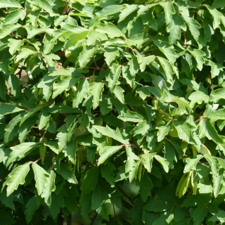 The leaves of Acer griseum