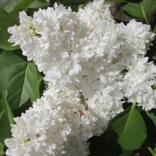 beutiful white clusters of flowers of Syringa vulgaris Alice Harding