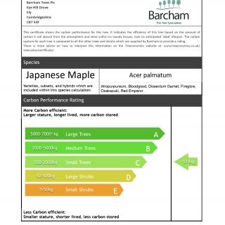Acer palmatum Fireglow multi-stem